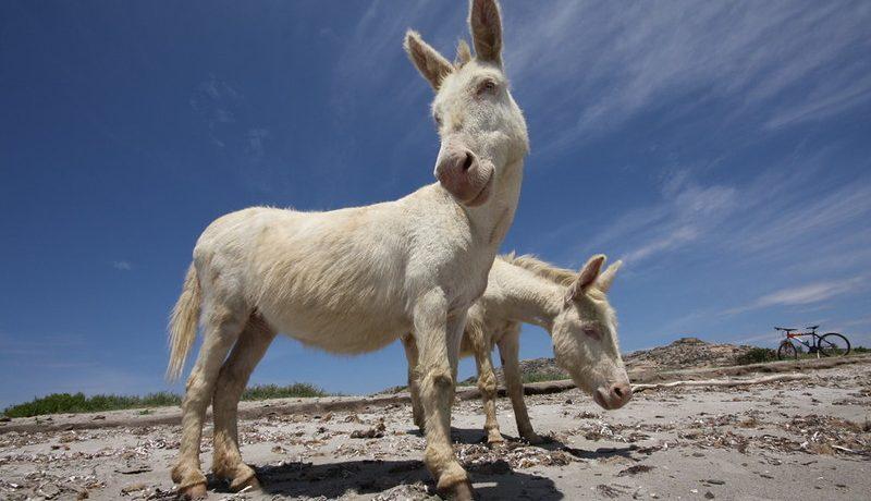 donkey-asinara-sardinia