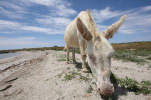 white-donkey-sardinia