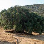 olivastri-millenari-luras-sardegna